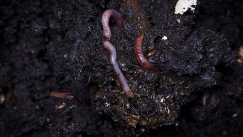 Earthworms Burrowing In A Compost Soil