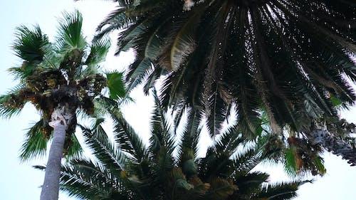 Palmbomen Staan Naast Kokospalmen