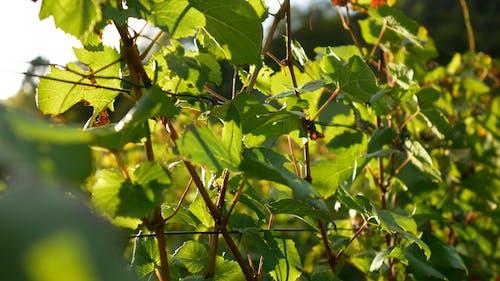 A Vineyard Of Grapes Plantation