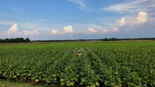 A Farmer Spraying Pesticide On His Crops For Pest Control