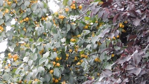 Gooseberry Plant On A Rainy Day