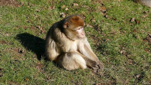A Young Monkey Seated On Grass In The Ground