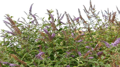 A Perennial Shrubs Plants Sways By The Blow Of The Wind
