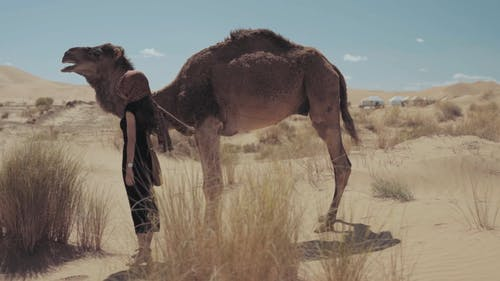 A Woman Touching A Camel Feeding On Tall Grasses