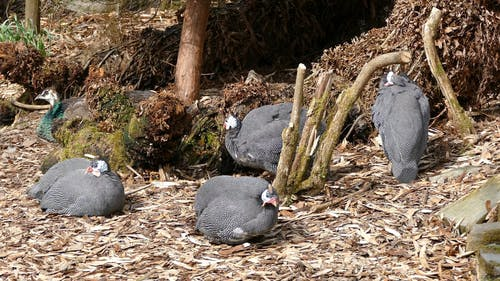 Group Of Guinea Fowl Resting On The Ground