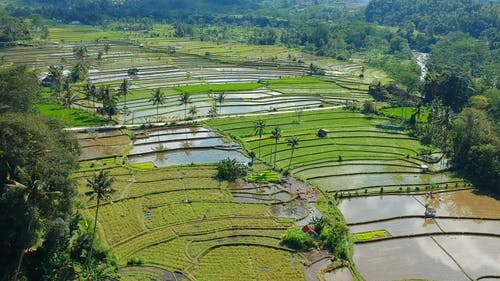 Aerial Footage Of Rice Fields