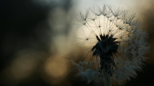 Dandelion Flowers Loosing Its Seeds From The Wind Blows