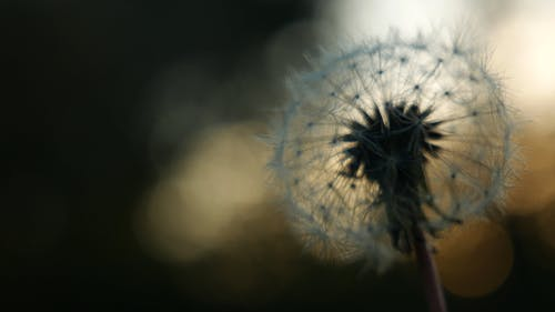 Dandelion Flower In Focus