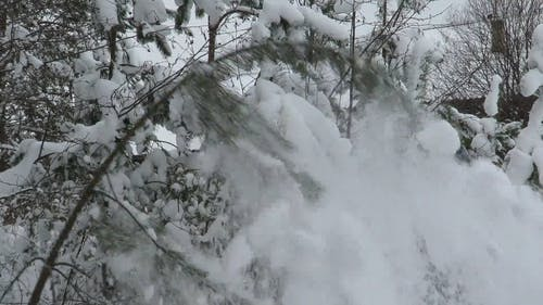 Snow Falling Off On A Branch Of A Tree