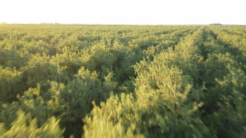 Plantation Of Almond Trees