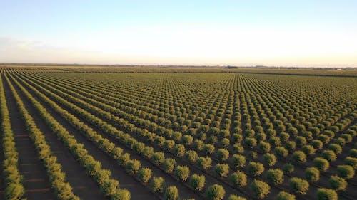 Drone Footage Of Almond Tree Plantation Field