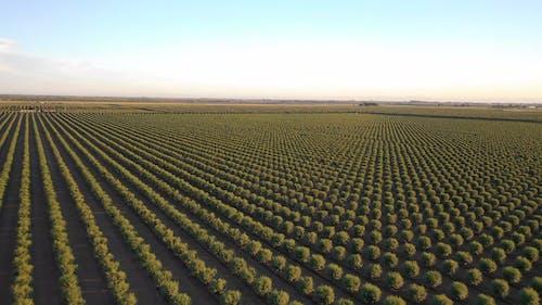 Almond Tree Farming In A Wide Open Field