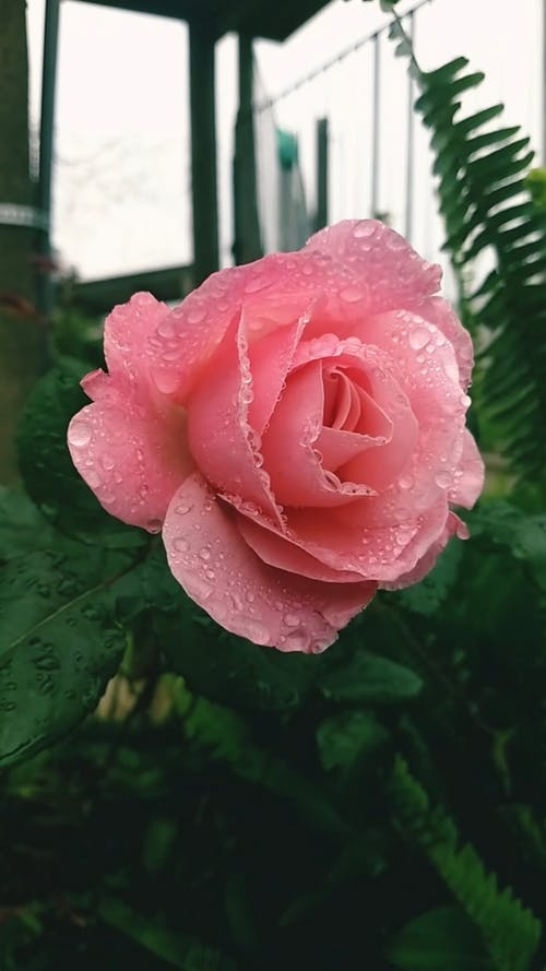 A Pink Rose In Full Bloom Swaying By The Wind Blows