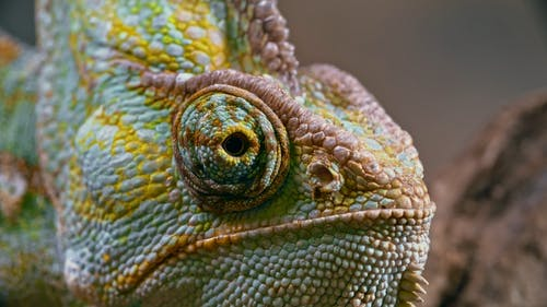 Close-up Footage Of A Chameleon Right Eye