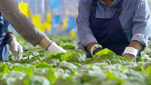 Workers In A Greenhouse Farming Checking Their Cultured Crops