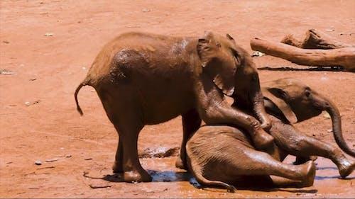 Słonie Dziecięce Bawiące Się W Błocie