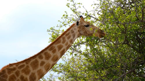 A Giraffe Eating Leaves On Tall Trees
