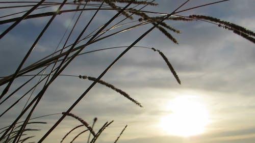 Clinging Seeds Of A Wild Grass