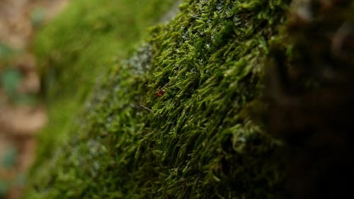 Red Ant Crawling On A Surface Covered In Moss