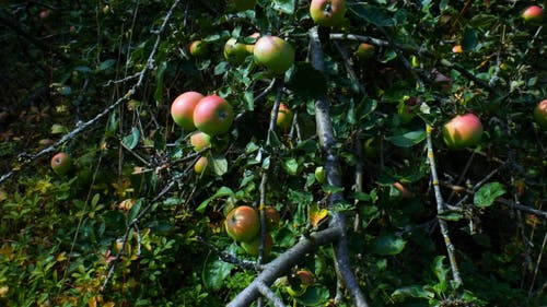 Apple Tree Bearing Apple Fruits On Its Stems And Branches