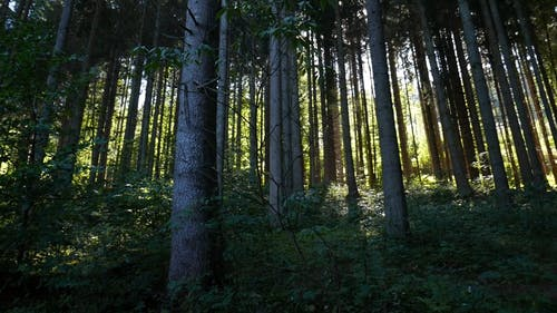 The Long Trunks Of Tall Trees In The Forest