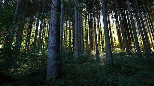 Die Langen Stämme Der Hohen Bäume Im Wald