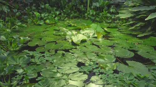 Water Plants Floating On The Surface Of A Pond
