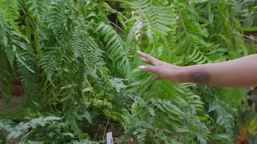 A Woman Hand Touching The Leaves Of A Fern Plants