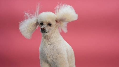 A Poodle Dog's Fur Swaying By The Wind Blows