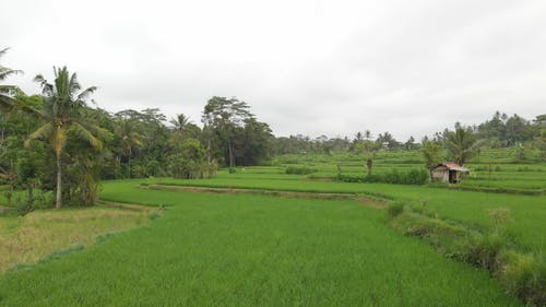 Rice Fields Farming In An Agricultural Land