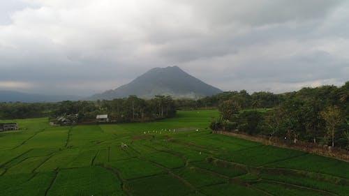 Drone Opnamen Van Een Rijstplantage
