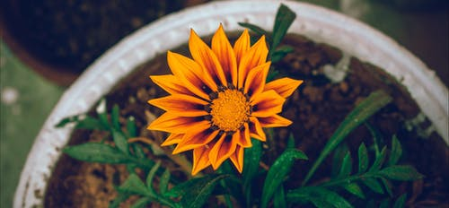 Footage Of A Sun Flower Blooms In Time Lapse