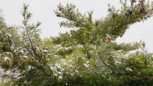Pine Tress Covered With Snow