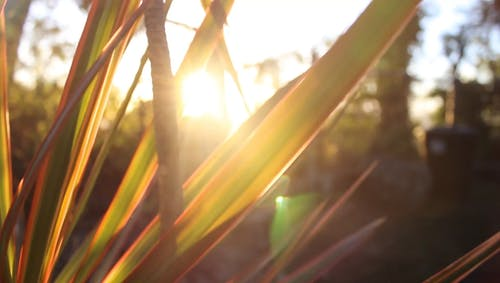 Sun Rays Through The Gaps Of Long Leaves
