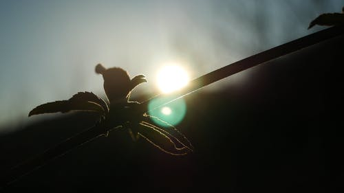 A Footage Of A Plant Stem With New Leaves Taken Against The Light Of The Sun