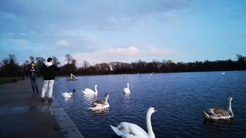 Swans And Wild Ducks Paddling On A Water Surface