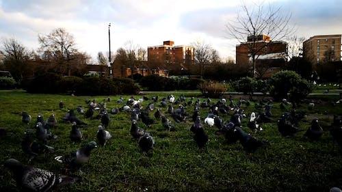 Herde Von Tauben Auf Grasland