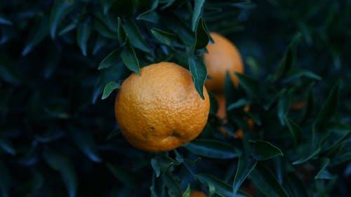 树上未采摘的橙色水果