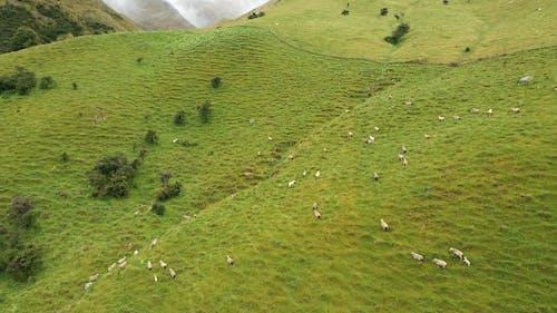 Metraggio Drone Delle Pecore Che Camminano In Montagna