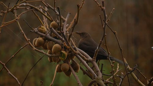 A Wild Blackbird Feeding On A The Fruits Os A Tree