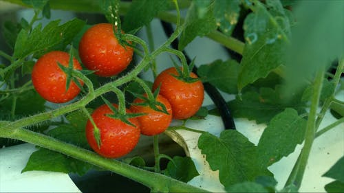 Home Grown Tomatoes Waiting To Be Harvested On Its Plant