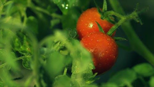 Gros Plan D'une Petite Tomate