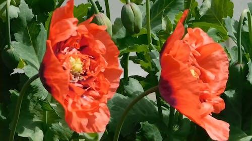 Amapolas Rojas En Plena Floración