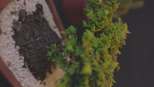 Close-up View Of Bonsai Tree In A Pot