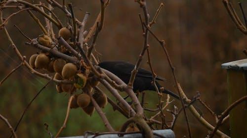 A Black Sparrow Feeding On Kiwi Fruits Of A Tree