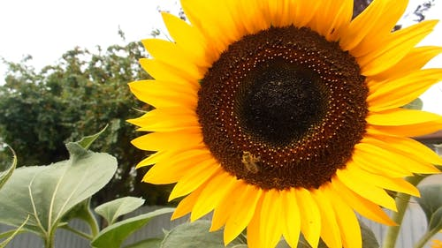 Footage Of The Bee In The Sunflower