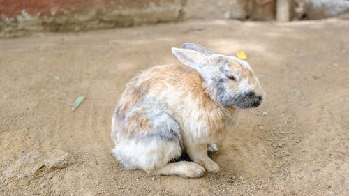 A Rabbit Grooming Itself While Resting Still In The Ground