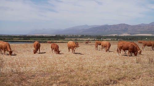 Mandria Di Mucche In Un Pascolo