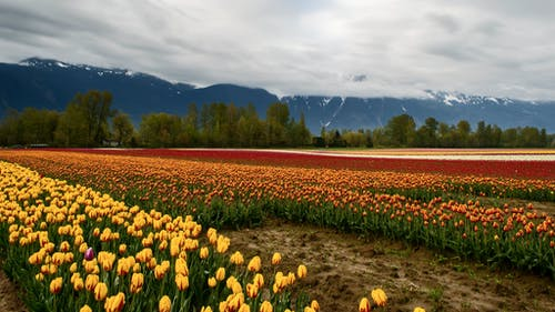 Tulips Plantation In An Agricultural Field