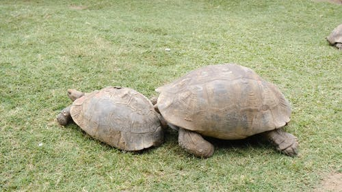 A Big Tortoise Pushing A Smaller One While Crawling On A Grass Land